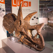 Fossilised Triceratops skull at Thinktank