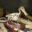 Bird skeleton and other skeletons from the Natural History collection