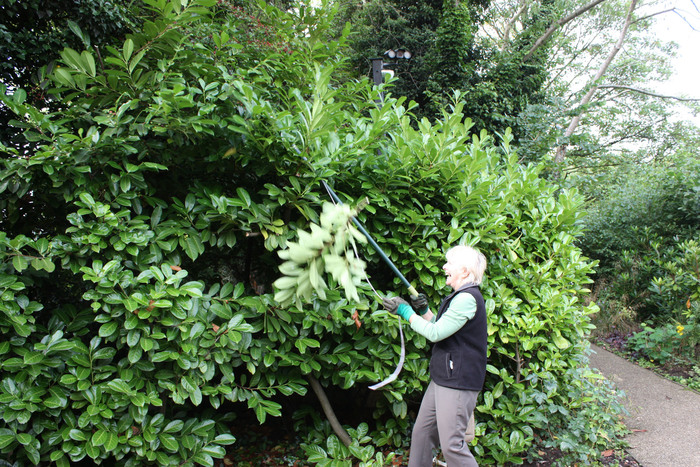 Pruning hedges at Sarehole Mill