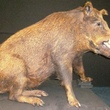 Wild boar from the zoology collection before treatment