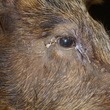 Cracks around the eyes of the boar