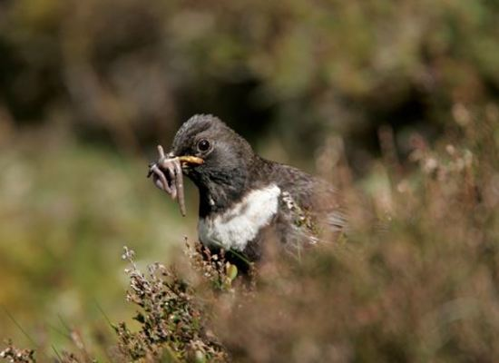 Ring ouzel   1029342   high res free