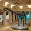 Dippy at Birmingham Museum and Art Gallery