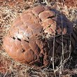 Ground pangolin in defensive posture. Photo by Masteraah