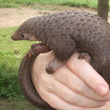 Tree pangolin in central Democratic Republic of the Congo. Photo by Valerius Tygart