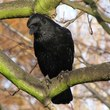 Crow (Corvus Corone) by Jans Canon