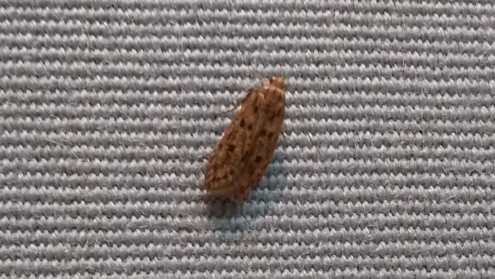Adult case bearing clothes moth